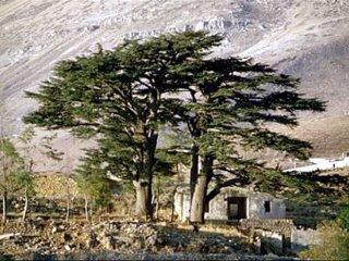 レバノンスギの画像 p1_10