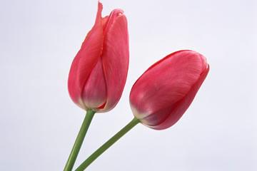 新潟県の県花 チューリップ