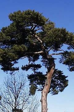 山口県の県木 アカマツ(赤松)