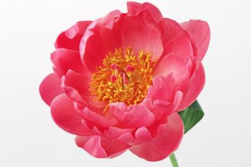 島根県の県花 ボタン(牡丹)