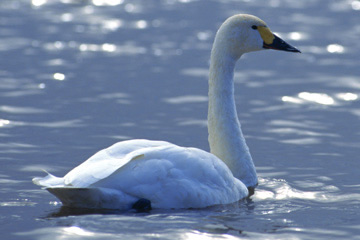島根県の県鳥 ハクチョウ(白鳥)