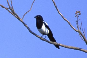 佐賀県の県鳥 カササギ