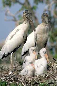 兵庫県の県鳥 コウノトリ(鸛)