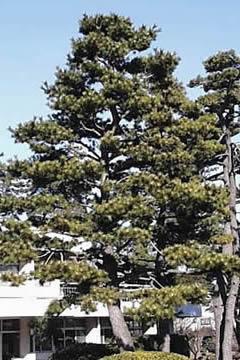 福井県の県木 マツ(松)の写真