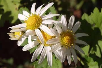 兵庫県の県花 ノジギク(野路菊)