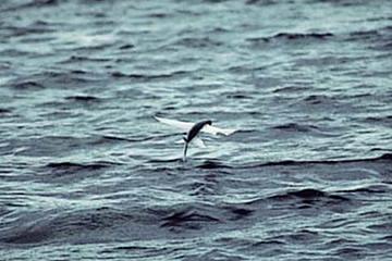 島根県の県の魚 トビウオ(飛魚)