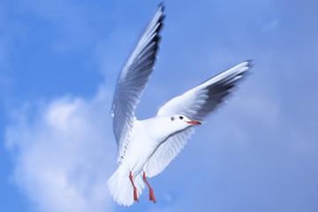東京都の都鳥 ユリカモメ(百合鴎)